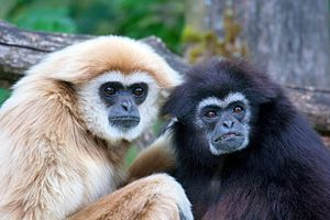 Extra-pair copulation - Pair of white-handed gibbons