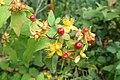 Hypericum androsaemum kz9.jpg