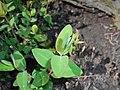 Hypericum moserianum Hidcote 2016-05-09 9876.jpg