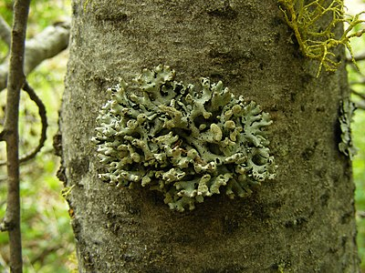 Hypogymnia tubulosa on trunk of tree.jpg