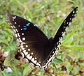 Hypolimnas bolina - Great Eggfly at Thillankeri 08.JPG