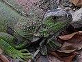 Iguana (3242622520).jpg