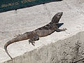 Iguana - Quintana Roo - México 2.jpg
