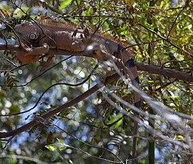 Iguana basking