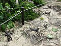 Iguanas on Parade - Tulum Archaeological Site - Quintana Roo - Mexico - 01.jpg