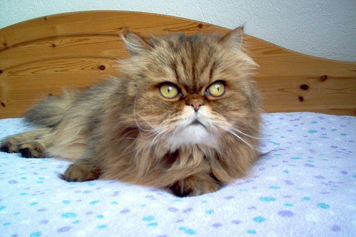 Veľká mačička Foto