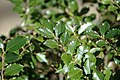 Ilex aquifolium (English holly) (Middletown, Ohio, USA) 1 (49113978662).jpg