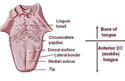 Papillae Tongue