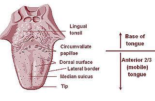 Lingual tonsils
