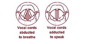Larynx - Wikipedia