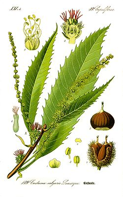 Illustration Castanea sativa0 clean.jpg