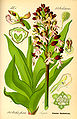 Illustration Orchis purpurea0.jpg