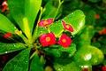 Image of Euphorbia milii.jpg