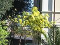 Imperia-Parasio-Mimosa-IMG 2537.JPG