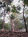Indian Botanic Garden - Howrah 2012-01-29 1676.JPG