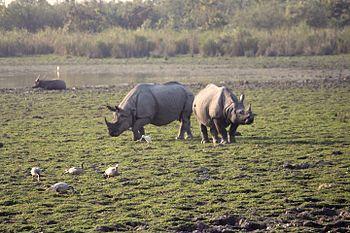Indian One Horned Rhino 1.jpg