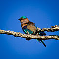 Indian Roller profile.jpg