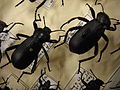 Insect Safari - beetle 35A.jpg