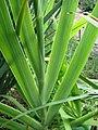 Iris domestica 2007-08-11 03.jpg
