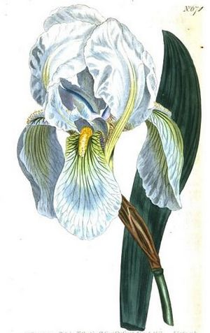 Iris florentina - Painted illustration of Iris florentina by Sydenham Edwards for Curtis's Botanical Magazine in 1803