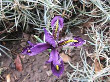 Iris reticulata, Armenia.jpg