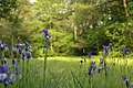 Iris sibirica in natural monument Mastnice in 2011 (3).JPG