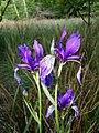 Iris sibirica sl24.jpg