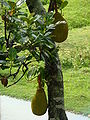 Jackfruit Bangladesh (2).JPG
