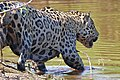 Jaguar (Panthera onca) male back in the water (29139914386).jpg