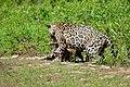 Jaguars (Panthera onca) catfight ... (28553049044).jpg