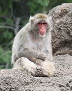 Japanese Macaque 0225.jpg