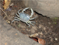 Japanese freshwater crab.png