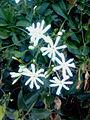 Jasminum grandiflorum (lean jasmine) at Tallavalasa.jpg