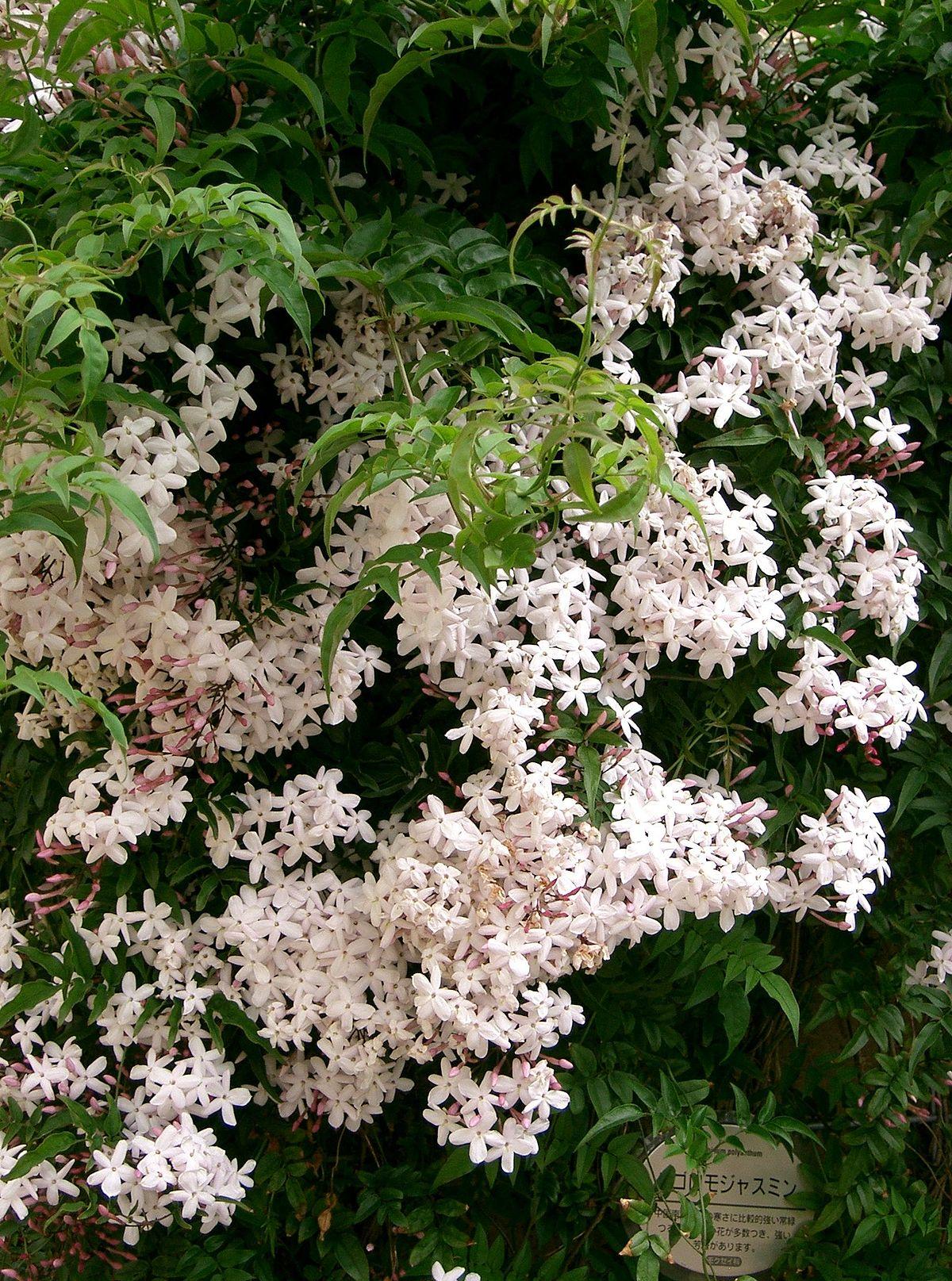 Jasminum polyanthum wikip dia - Jasmin blanc d hiver ...