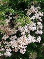 Jasminum polyanthum1.jpg