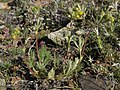 Jepson cinquefoil, Potentilla jepsonii (24591405025).jpg