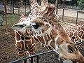 Jirafa en el Zoologico - panoramio.jpg