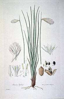 Johnsonia lupulina (Illustrationes Florae Novae Hollandiae plate 1).jpg