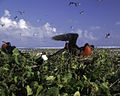 Johnston Atoll Seabirds FWS.jpg