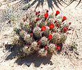 Joshua Tree National Park - Mojave Mound Cactus (Echinocereus triglochidiatus) - 12.JPG