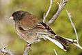 Junco hyemalis 5884 cropped.JPG