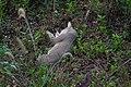 Jungle cat 09487.jpg