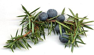 Juniper berry - Juniper berries, here still attached to a branch, are actually modified conifer cones.