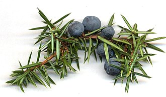 Juniper - Cones and leaves of Juniperus communis
