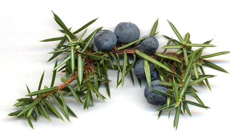 Juniperus communis cones.jpg