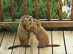 Juvenile groundhog siblings play-fighting DSC00689.jpg