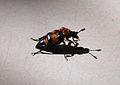 Käfer mit Jungen.jpg