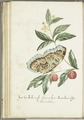 KITLV - 37A87 - Markée, Cornelis - American cherries - Brush drawing - Circa 1763.tif
