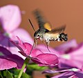 Kaibara87 - Hummingbird Hawk-moth 2 (by).jpg