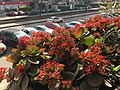 Kalanchoe blossfeldiana , photo by Hatem Moushir 2.jpg